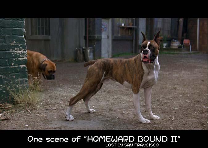 屋久島救助犬協会・犬の繁殖、里親様募集・取扱犬種・ボクサー ボクサー ボクサーが犬種として確立し